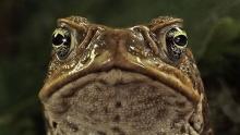 Тростниковые жабы: Оккупация смотреть на Tvigle.ru