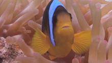 Рыбка-клоун в лучах актинии
