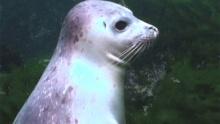Тюлени Ларга