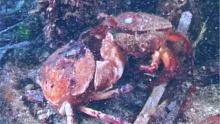 Нападение краба на морского червя