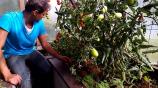 Помидоры. Самоподвязка томатов на сетке — ленивый огород смотреть на Tvigle.ru