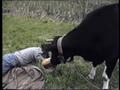 Невежливая корова