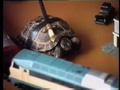 Неуклюжая черепаха
