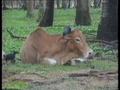 Дружелюбная корова