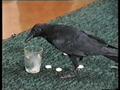 Приболевшая ворона